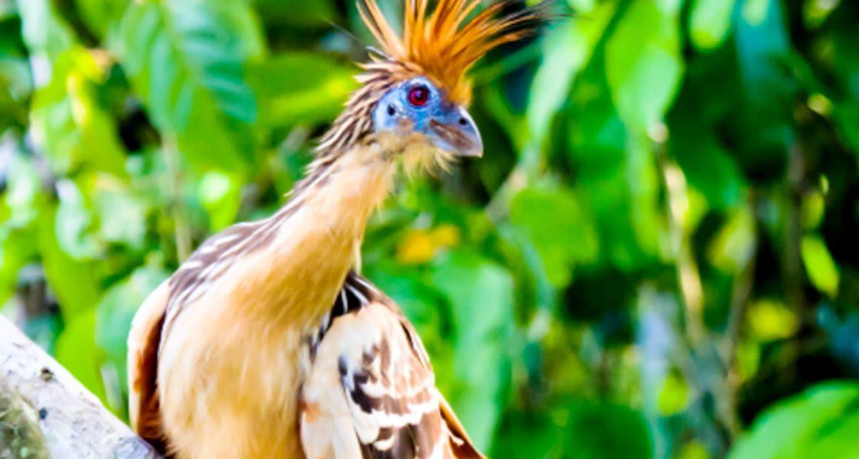 Hoatzin bird sitting on branch