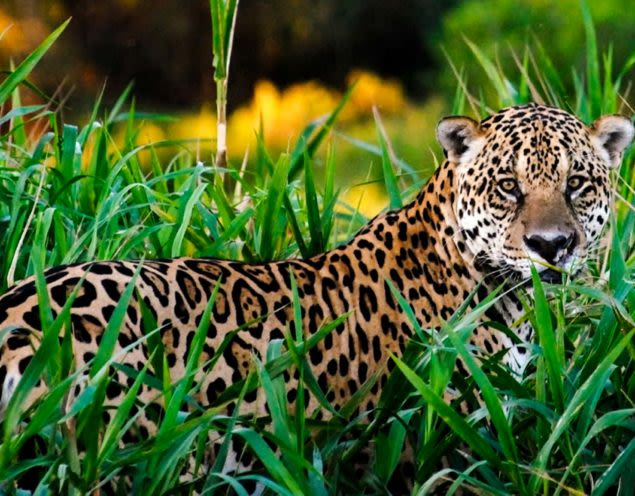 Jaguar sits in tall grass of jungle