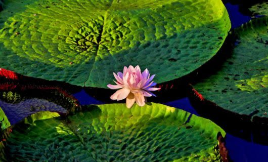 Pink flower sits among lily pads