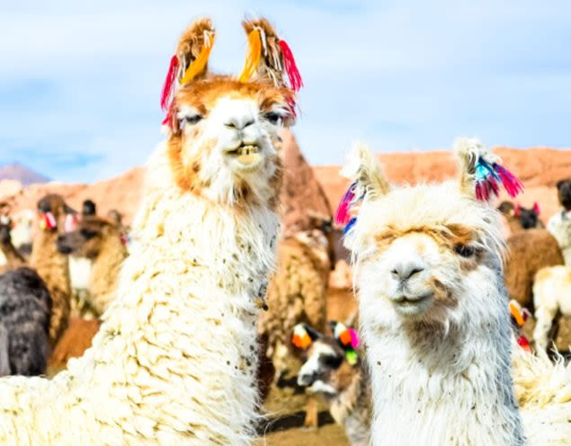 Two llamas stand at front of herd