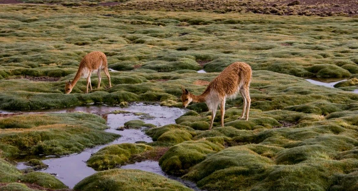 Two llamas on mossy rocks drink out of small stream