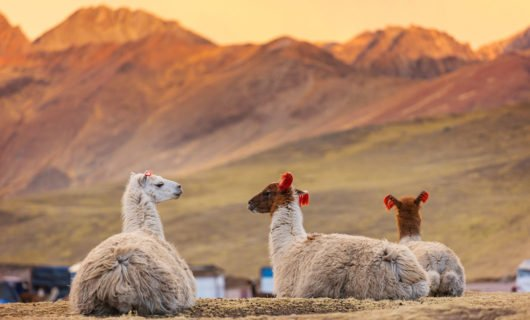 Llamas relaxing in field in Peru