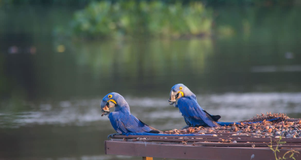 macaws eating on stand