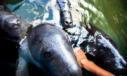 Manatees stick their noses out of the water toward person's hand