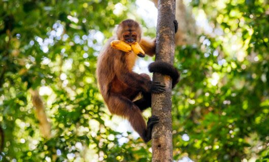 Monkey climbs tree trunk with bananas in mouth