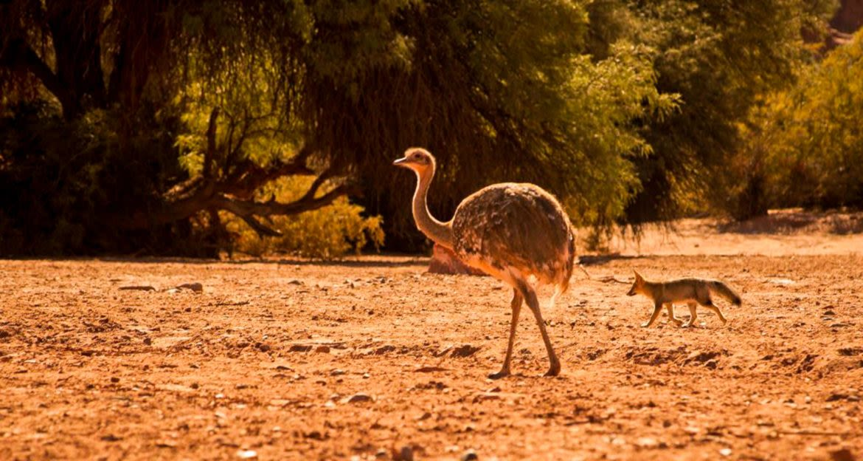 Ostrich and fox walk across dusty ground