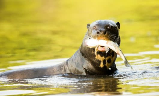 Otter in Amazon river holds fish in mouth