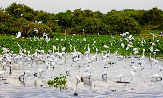 Flock of white birds on the Pantanal Wetlands