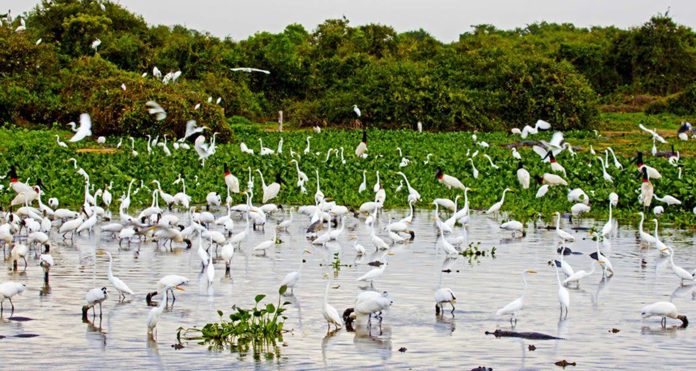 Flock of egrets in Brazil Pantanal