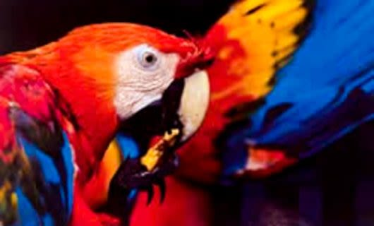 Parrots nibbles on fruit held in claw