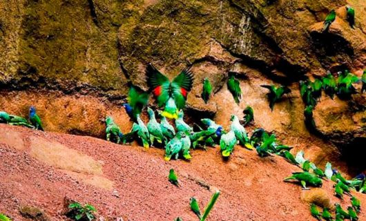 Flock of parrots gather on clay lick