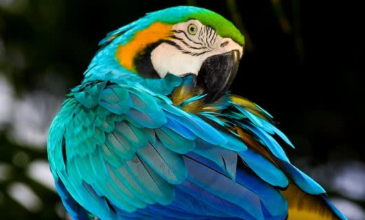 Blue, yellow and green parrot grooms itself