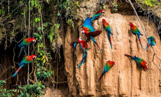 Red and blue parrots perch on rocky wall