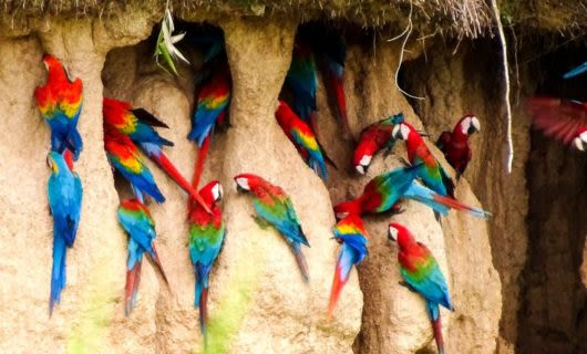 Flock of parrots cling to rocky wall