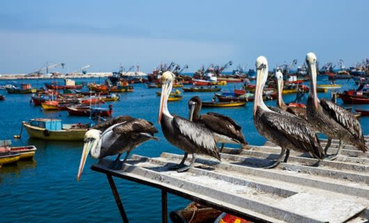 Group of pelicans sit on tin roof near coast