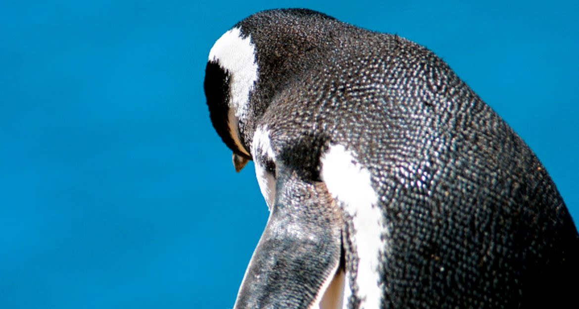 Penguin faces away from camera