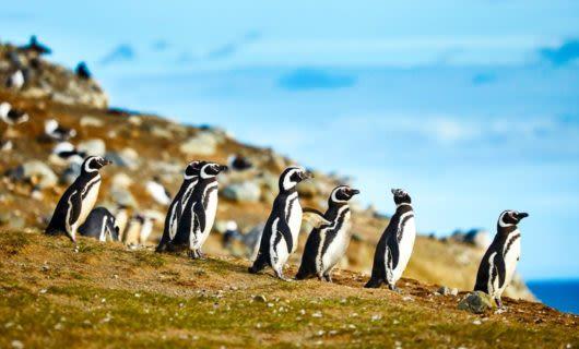 Group of penguins stand on coastal hillside