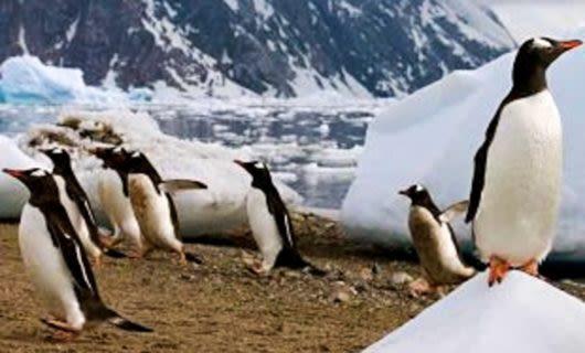 Penguins walk over ice chunks on beach