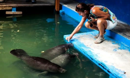 Woman touches manatees at wildlife center
