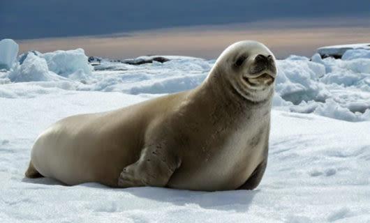 Seal sits on polar ice floe
