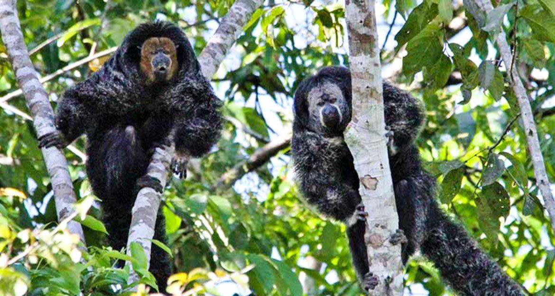 Saki monkeys sit in tree branches