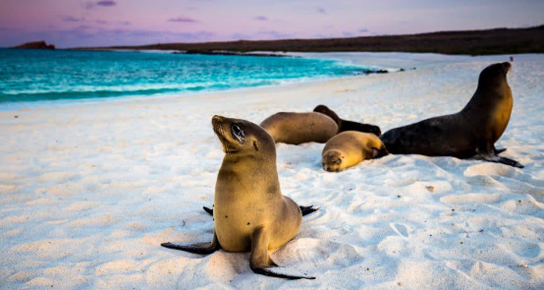 Seals rest on white sand of Ecuador beach
