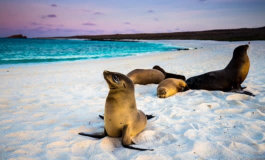 Seals rest on white sand of Ecuador beach