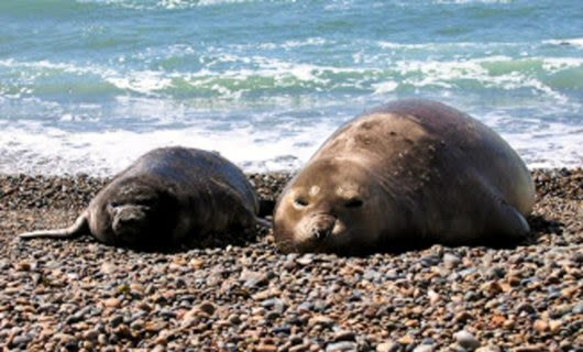 Seals lie on rocky beach