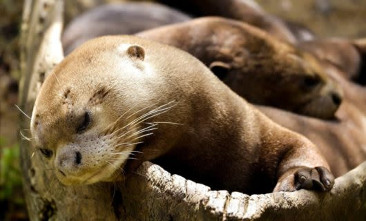 Otters asleep in hollow log