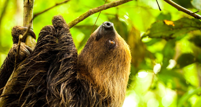 Sloth climbs jungle tree