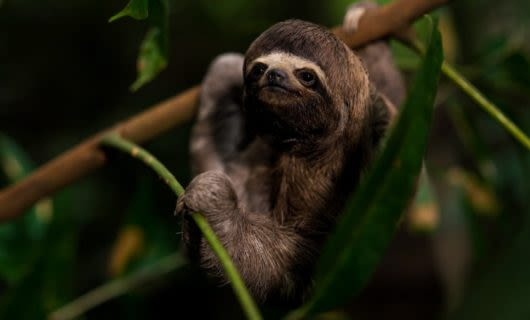 Sloth hangs out in a jungle tree