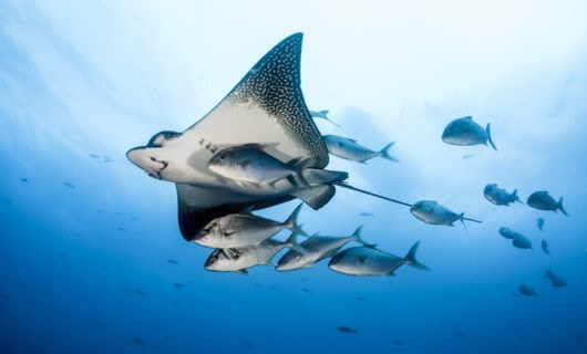 Spotted Eagle Ray surrounded by fish underwater