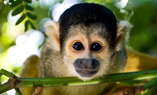 Close up of squirrel monkey looking into camera