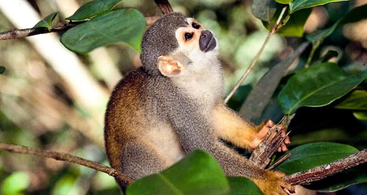 Squirrel monkey sits on tree branch