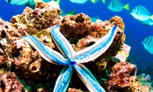 Blue starfish clings to coral