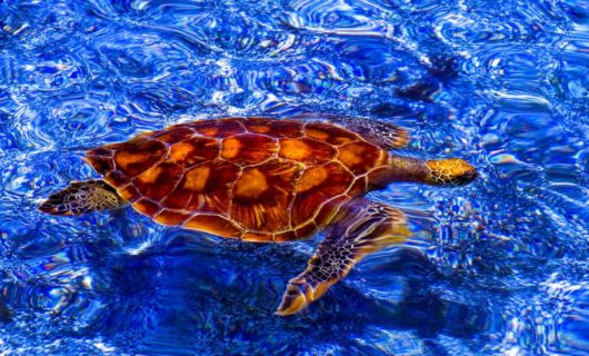 Turtle swims through blue water