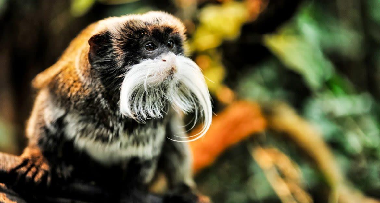 Tamarin monkey in rainforest
