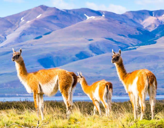 Three llamas stand in South America field