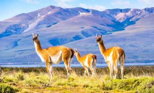 Three llamas stand in South America field