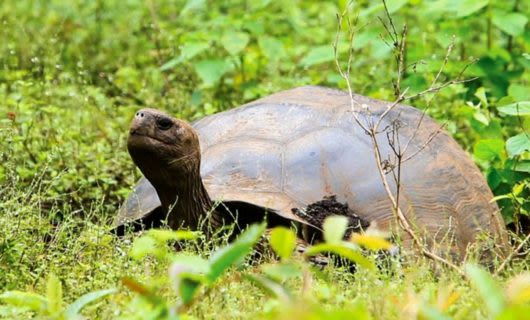 Giant tortoise in tall grass