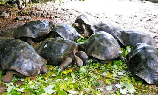 Group of tortoises eating leaves