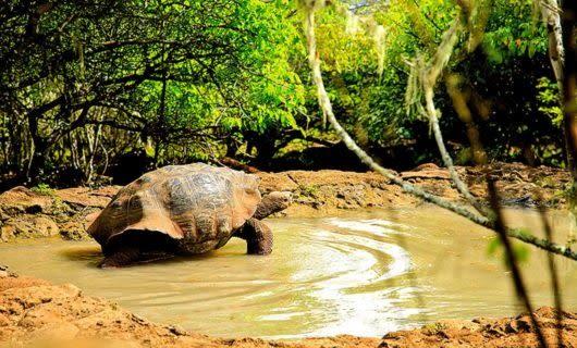 Tortoise walks through shallow, muddy water
