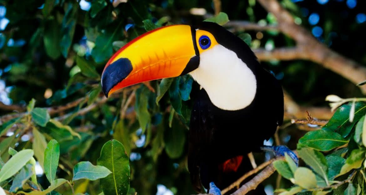Toucan sits in jungle tree