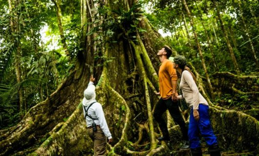 Travelers look up at rainforest tree