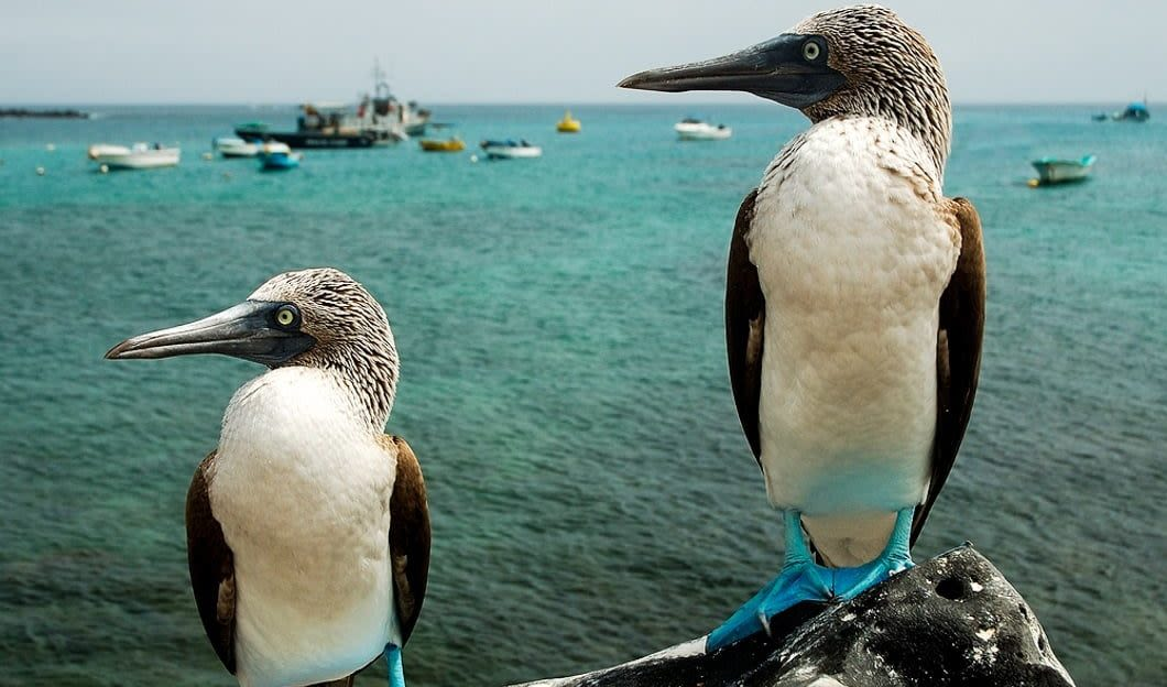 Two blue-footed boobies sit on rock in Ecuador