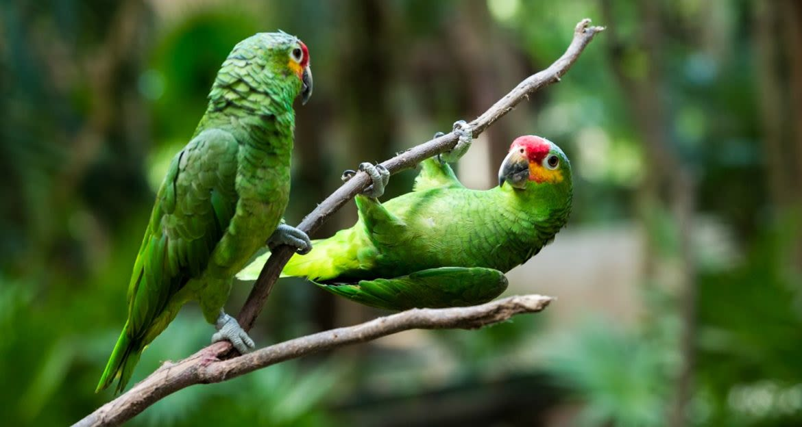 Two green parrots on a small branch