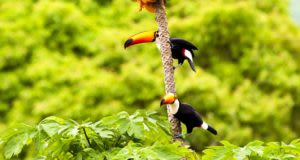 two toucans hanging to tree