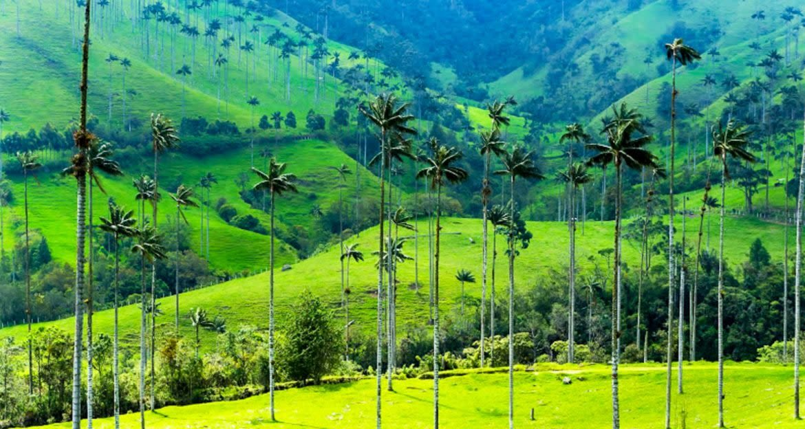Thin trees in Colombia valley