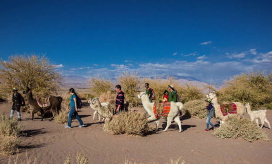 Group of travelers walk llamas through desert