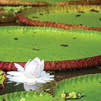 giant water lillies in the amazon rainforest